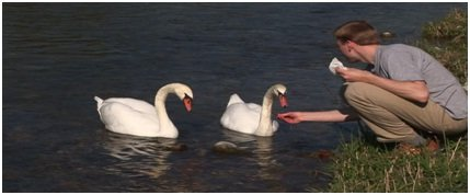 What not to feed to Swans