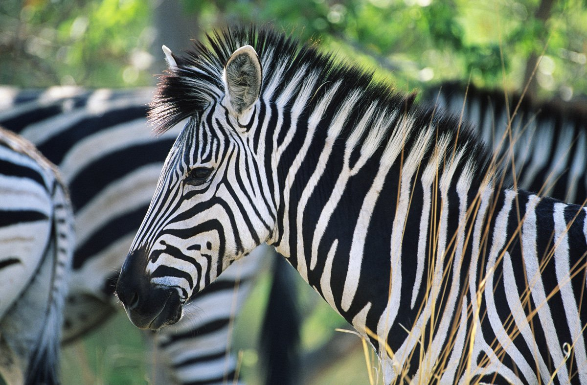 Cool Facts about Zebras