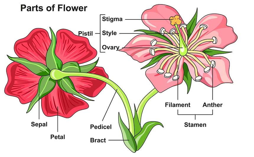 Morphology of Flower: Flower Structure, Parts, Videos ...