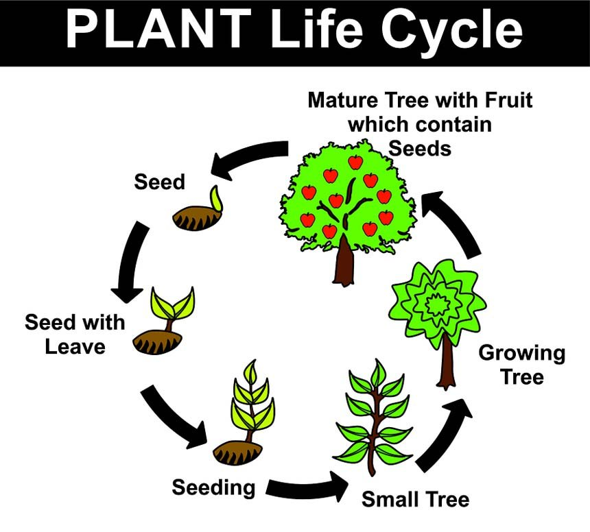 Oxygen Cycle In Nature The Plant Life Cycle